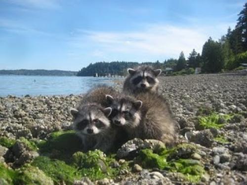 Beach raccoons 2010-6-30download068[1].jpg