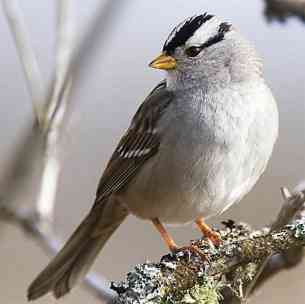 white_crowned_sparrow_2.jpg