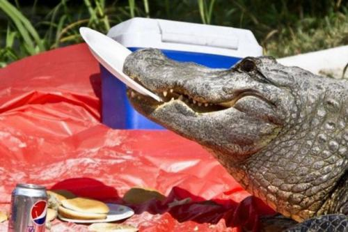 Alligator An-Animal-You-Do-Not-Want-To-See-On-Your-Picnic3[1].jpg