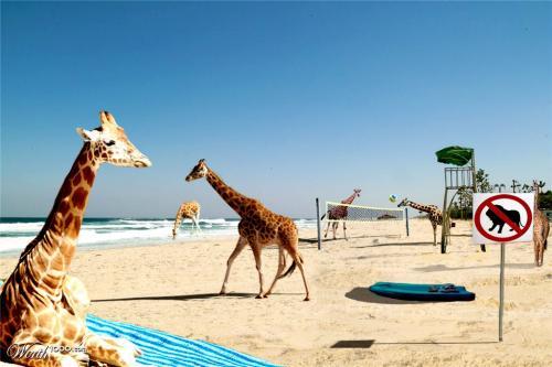 Beach Giraffes 16087614_7b54_1024x2000[1].jpg