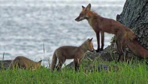 Beach foxes[1].jpg