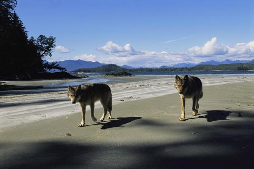 Beach gray-wolves-on-beach-joel-sartore[1].jpg