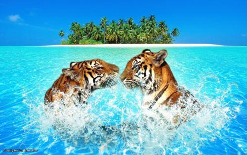 Beach pair-tigers-swimming-54390[1].jpg