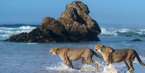 Beach slide-slide-Cheetahs-on-Forest-Hall-Beach[1].jpg