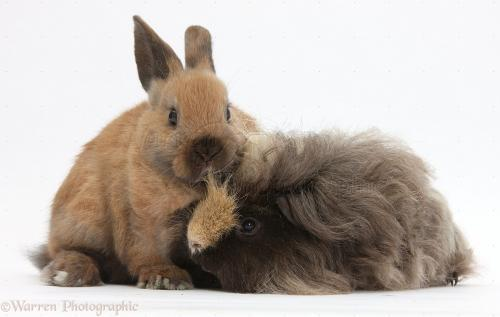 Guinea pig and Bunny 33798-Long-haired-Guinea-pig-and-young-rabbit-white-background[1].jpg