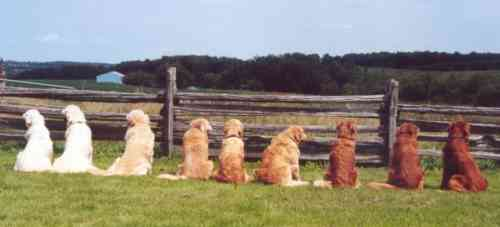 Colors Or Shades Of Golden Retrievers.JPG