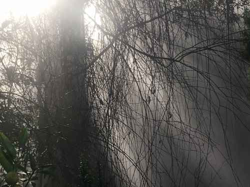 Morning Fog Through Branches.jpg