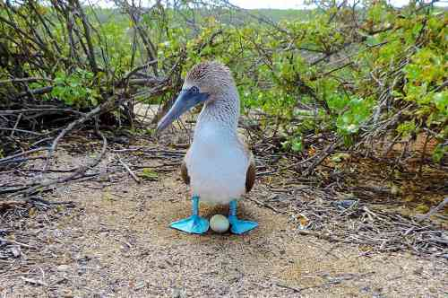 blue-footed-booby-galapagos-3.jpg