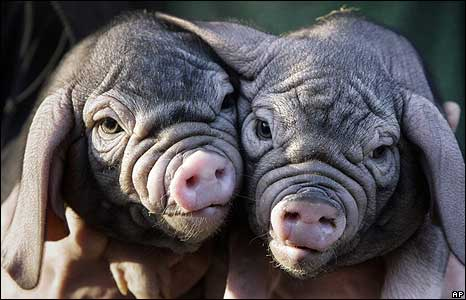 favorite pigs.jpg