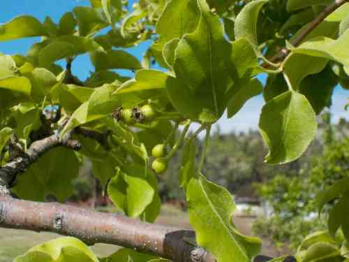 soe asian pears.JPG