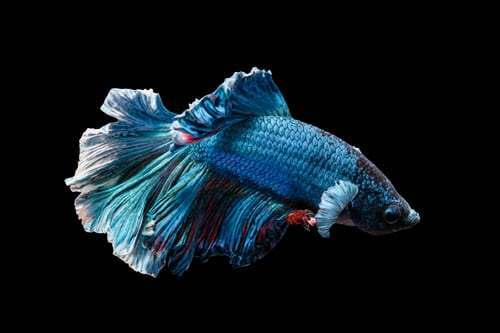 19-siamese-fighting-fish.jpeg