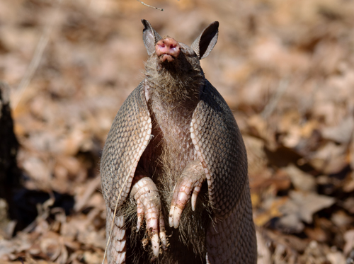 Armadillo-02-21-2020-resized-1.jpg
