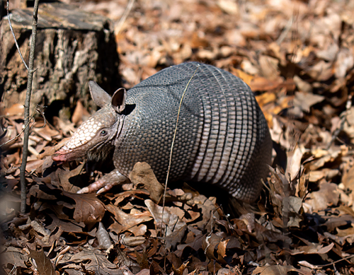 Armadillo-02-21-2020-resized-2.jpg